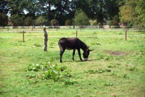 Ein Esel am Grasen auf der Wiese