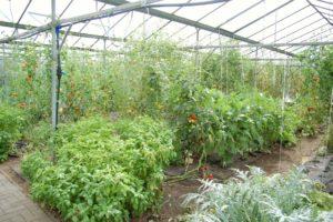 Ein Gewächshaus von Innen mit verschiedenen Gewächsen zum Beispiel Tomaten