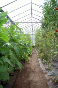 Ein Gang in einer Gewächshausreihe mit Tomaten