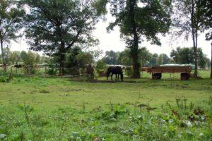 Pferde, die auf der Wiese Grasen - im Hintergrund sieht man ein paar Kühe